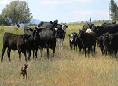 I was adopted for my cow herding (holding?) ability